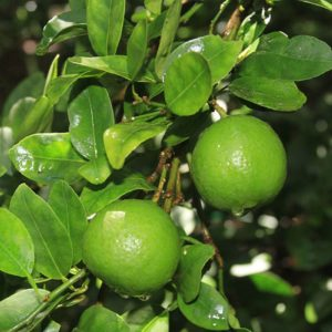 key-lime-tree_12